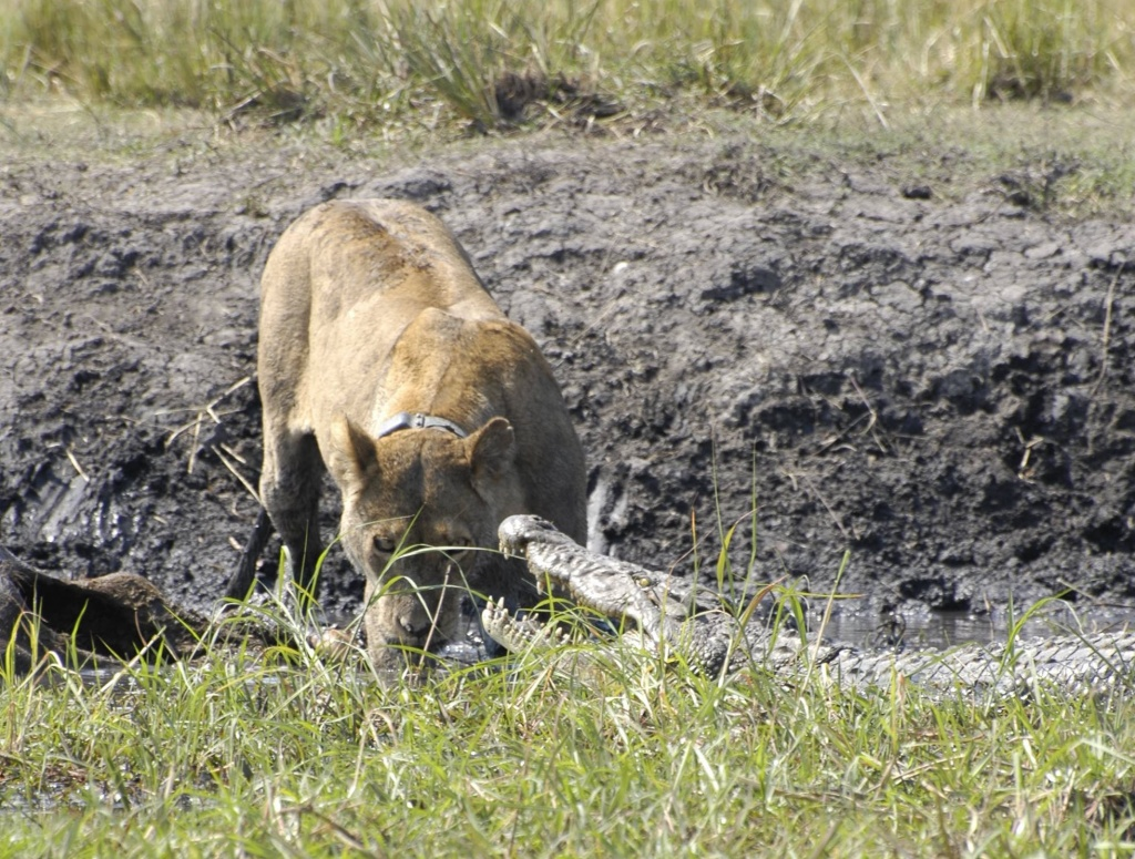 Lioness watching as crocodile tries to threaten her ownership of the dead waterbuck which is still in the water