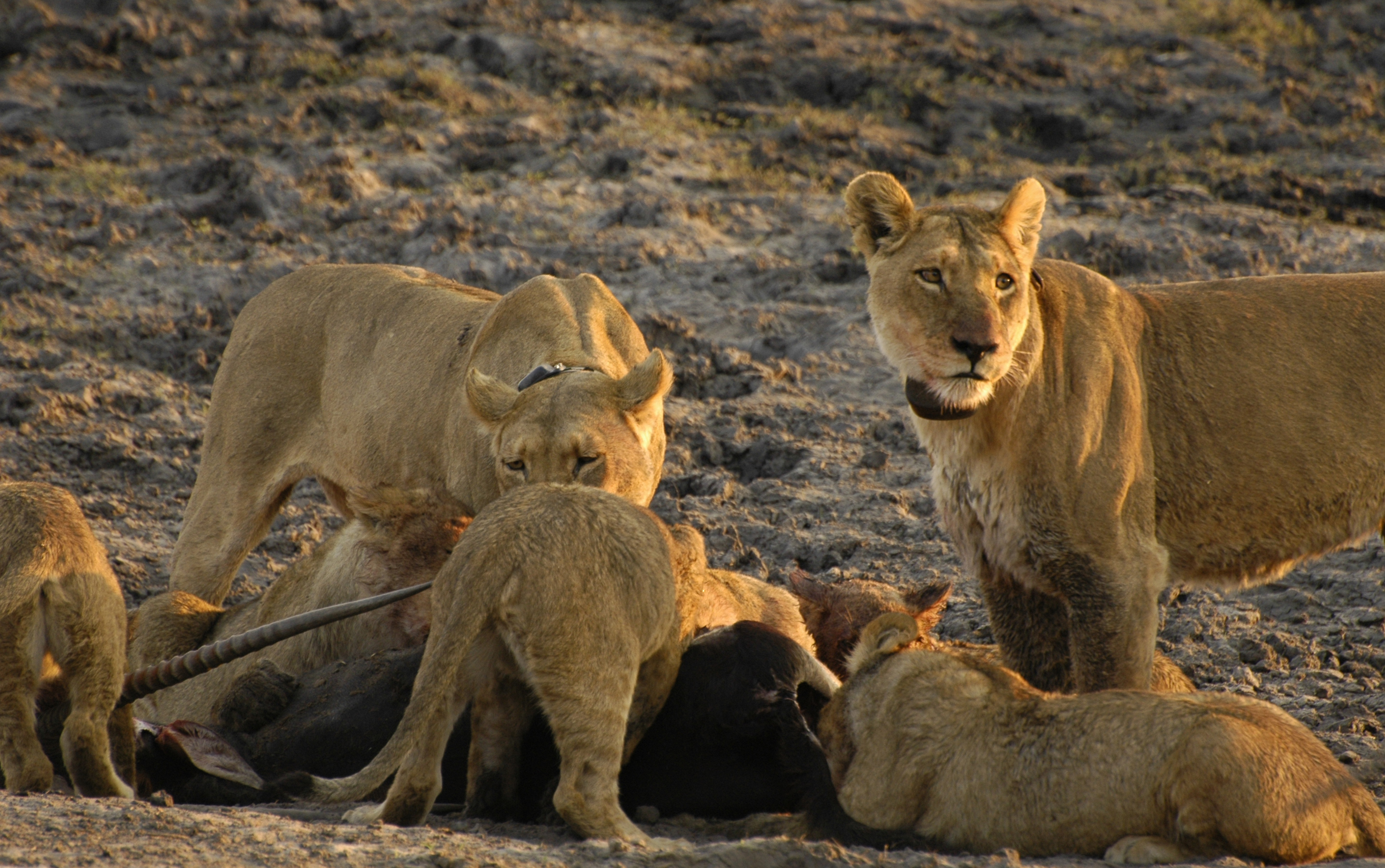 Lionesses' Hunting Prowess