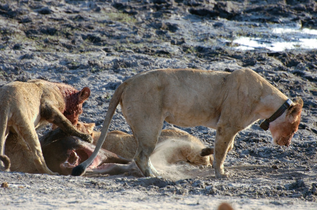 Lioness scratching the ground to cover up signs of the kill