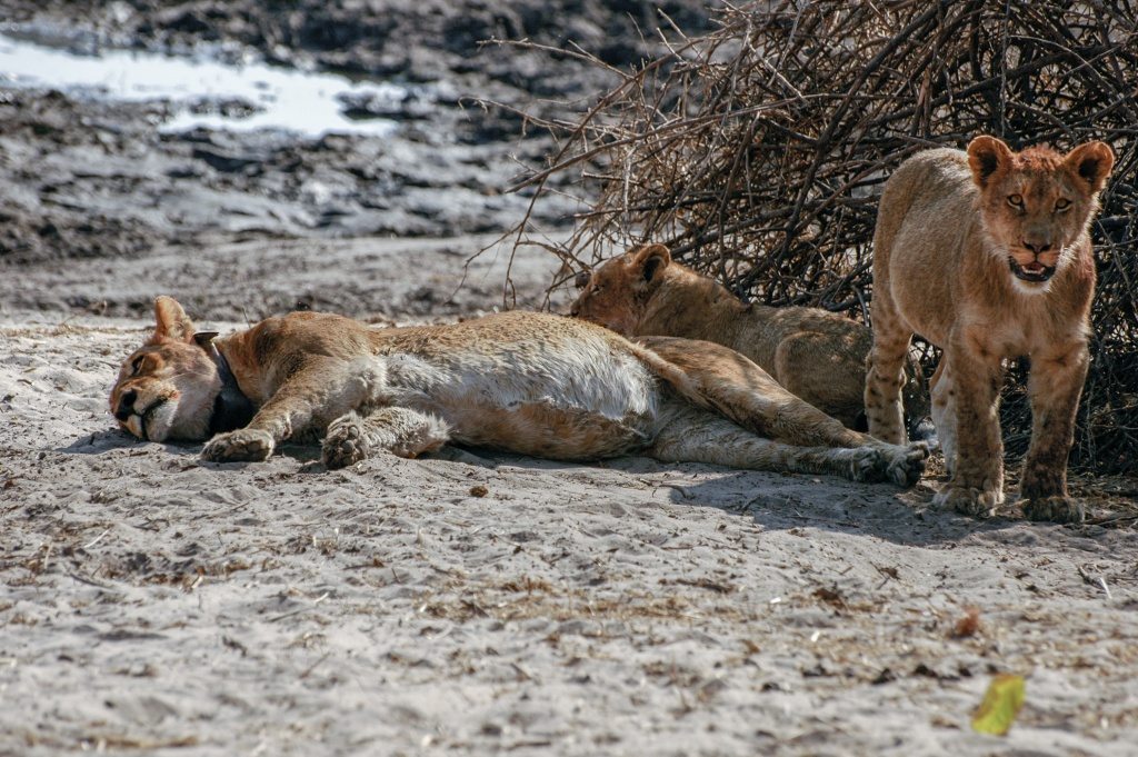 Full bellies are very obvious in resting lioness and standing cub