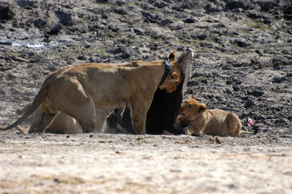Lioness begins moving sable carcass to hiding place
