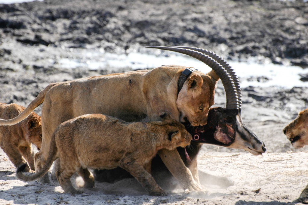 Lioness dragging the carcass as cubs continue to try to feed