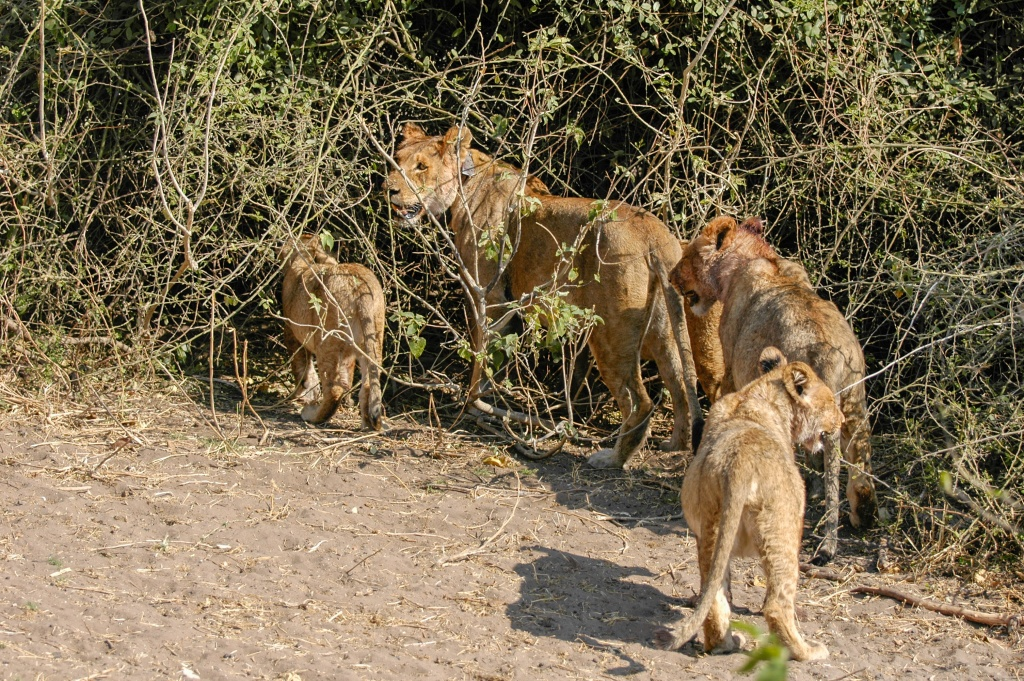 Lioness stands by the carcass hiding place with three cubs